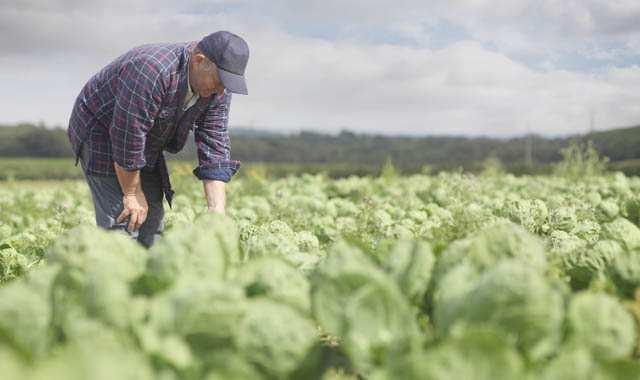 farmer in field inspecting crops