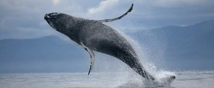 Whale jumping out of water.