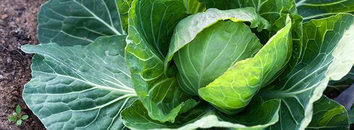 Close up of green crop.